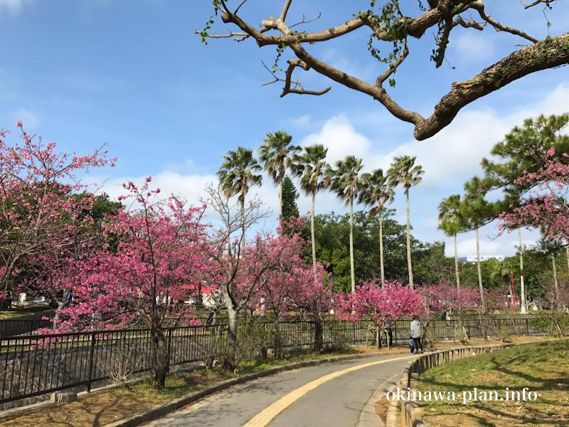 寒緋桜と南国っぽい木のコラボ